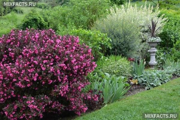 Вейгела – посадка и уход за кустарником в открытом грунте