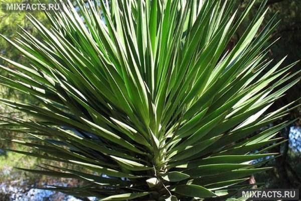 Уход за пальмой Юкка в домашних условиях, размножение, болезни и их лечение