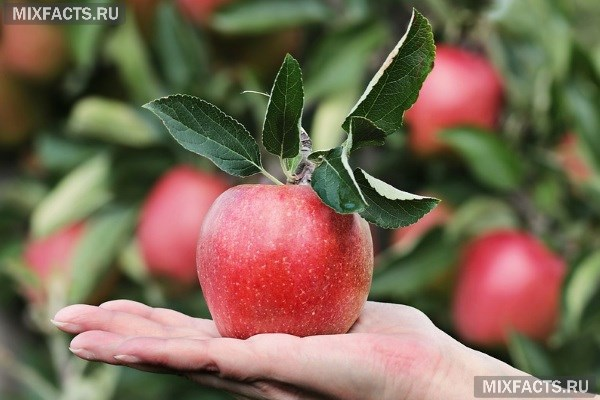 Можно ли яблоко на ночь при диете