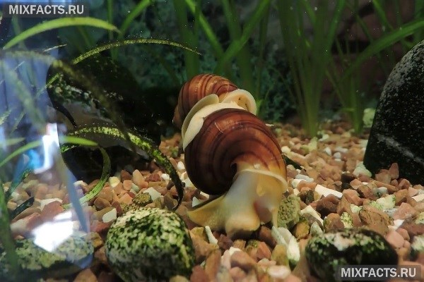 Все о пользе и содержании улиток ампулярий в аквариуме
