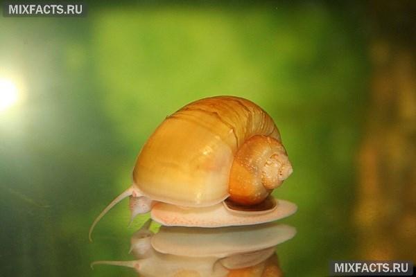 Улитки ампулярии в аквариуме польза или вред