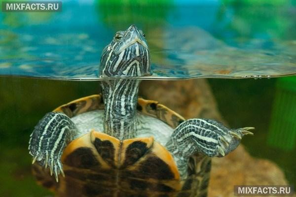 Как ухаживать за красноухой черепахой в домашних условиях – правила содержания и выбор корма