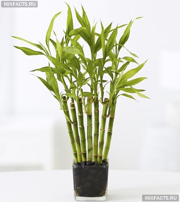 Как вырастить бамбук в домашних условиях?