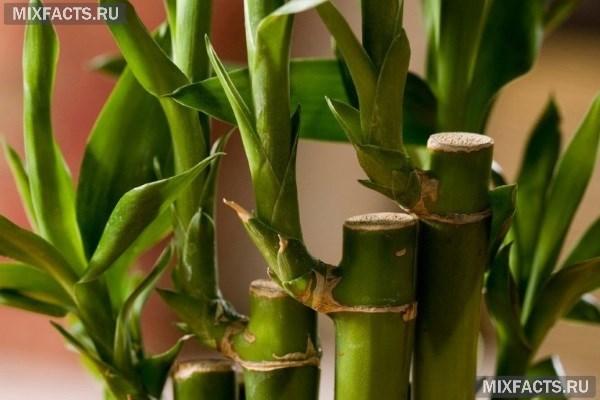 Как сажать бамбук дома