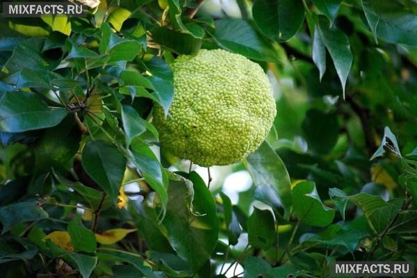 Настойка из адамова яблока для суставов сустав люшка