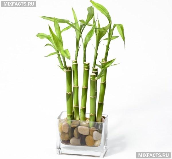 Как ухаживать за бамбуком в домашних условиях?