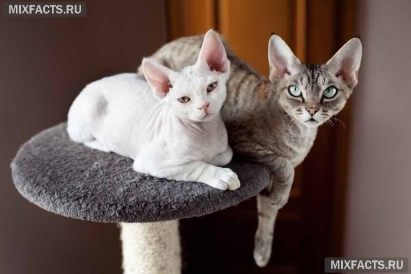 Породы лысых кошек с фотографиями