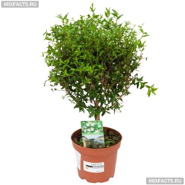 Мирт - уход в домашних условиях, полезные свойства комнатного растения