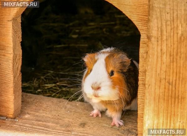 Условия содержания морской свинки в домашних условиях