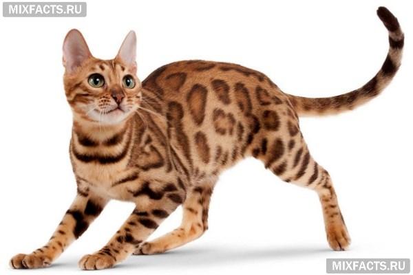 Откуда появилась самая крупная порода кошек