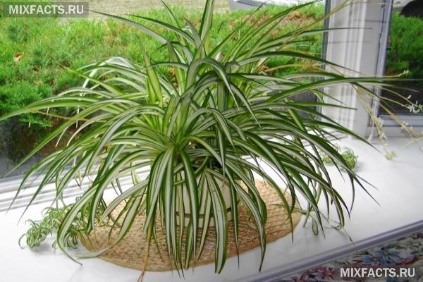 Уход за хлорофитумом в домашних условиях, размножение, польза и вред растения