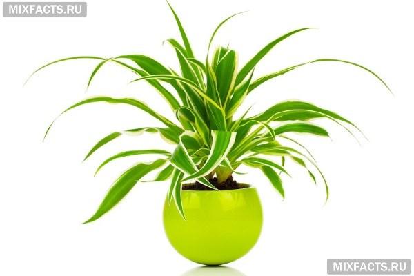 Уход за хлорофитумом в домашних условиях: полив, пересадка, болезни