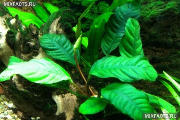 Какие аквариумные растения можно выращивать в гравии?