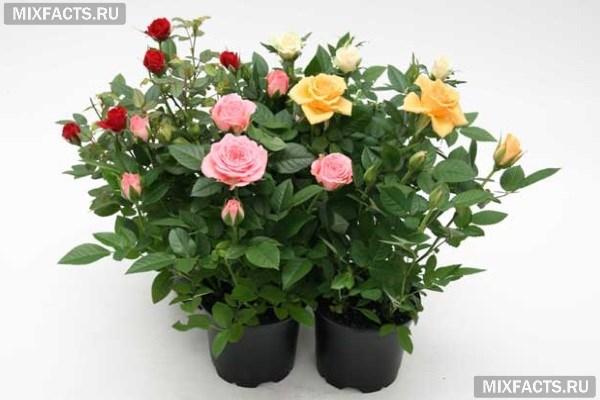 Как ухаживать за комнатной розой в домашних условиях? Болезни цветка и их лечение