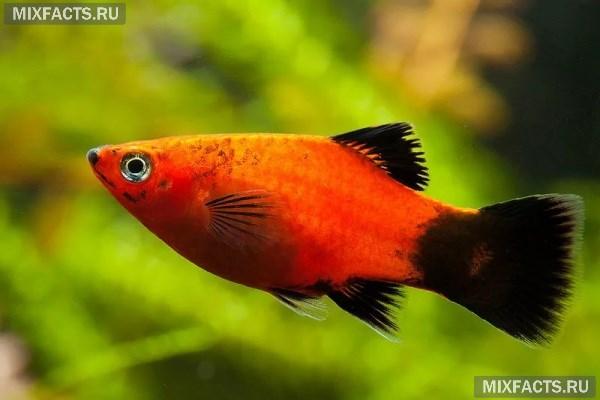 Пецилия аквариумная - содержание и уход за рыбкой в домашних условиях