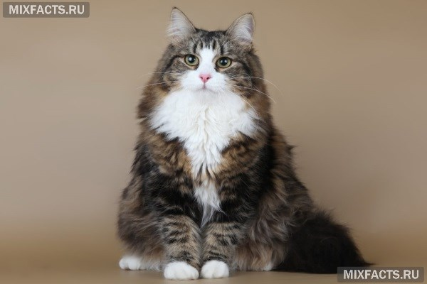 Гипоаллергенные кошки с названиями породы и фотографиями