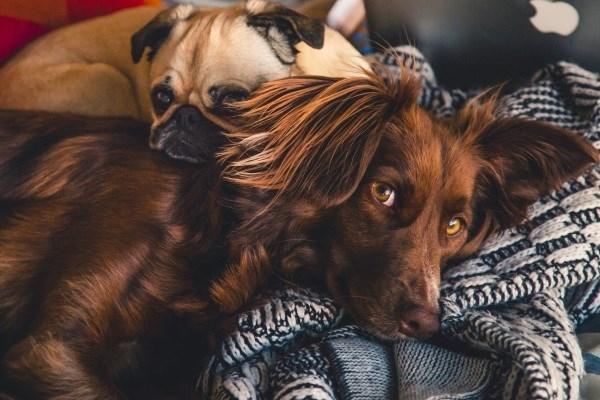 Линька у собак – норма и отклонения, причины, уход за шерстью