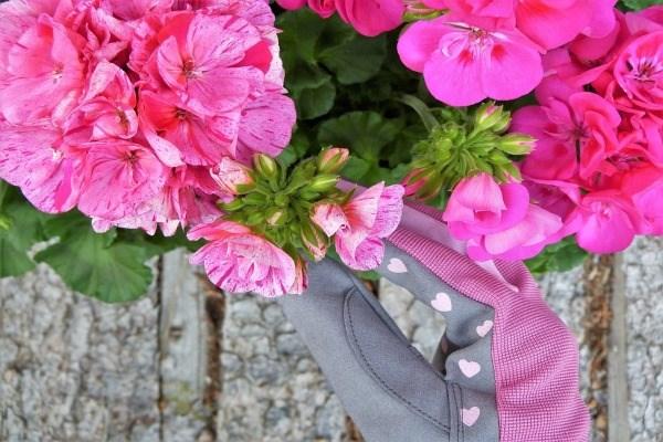 Пеларгония - уход в домашних условиях, болезни цветка и их лечение