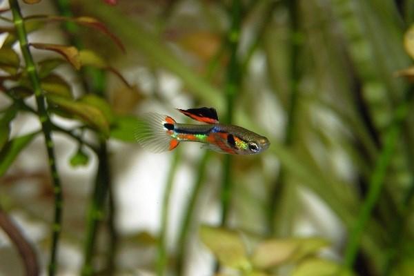 Аквариумные рыбки гуппи – правила содержания, кормление, размножение