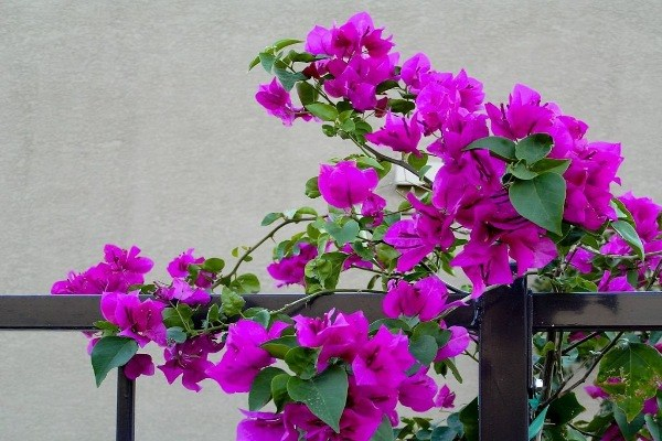 Бугенвиллия – уход в домашних условиях, размножение, болезни растения