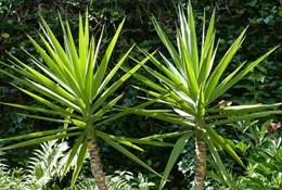Уход после пальмой Юкка во домашних условиях, размножение, болезни да их пользование