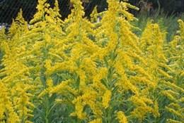 Амброзия – когда цветет, полезные свойства, борьба с аллергией