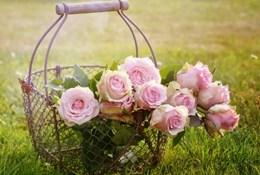 Как наблюдать из-за комнатной розой на домашних условиях? Болезни цветка равно их врачевание